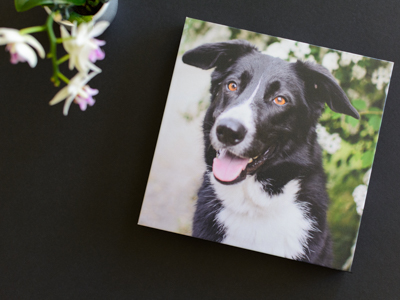 Wisconsin pet photographer tabletop with artwork of a border collie